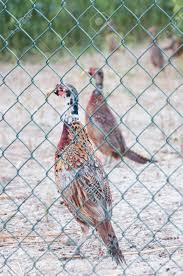 Pheasant Cage Designs Pheasants In A Cage On A Poultry Farm