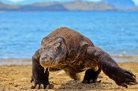 Image result for komodo dragon