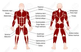 Muscle Chart With Accurate Description Of The Most Important