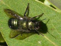 Image result for Mason bee