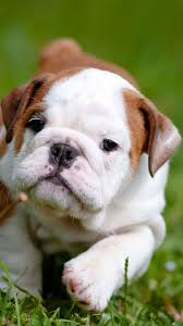 baby english bulldog wallpaper. Contemporary Wallpaper Cute English Bulldog Puppies IPhone Wallpaper HD Inside Baby A