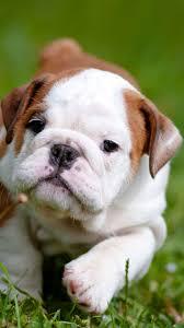 english bulldog puppy wallpaper. Cute English Bulldog Puppies IPhone Wallpaper HD Puppy Iphone Inside