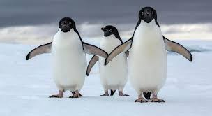 penguin. Perfect Penguin Off The Coast Of Western Antarctica A Tiny Archipelago Called Danger  Islands Has Been Home To More Than 15 Million Adlie Penguins That Were Hiding In  Intended Penguin N