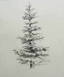 Noble Fir Evergreen Drawing Graphite Tats Pinterest