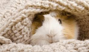 do guinea pigs have a sleep schedule