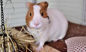 best place to keep a guinea pig cage