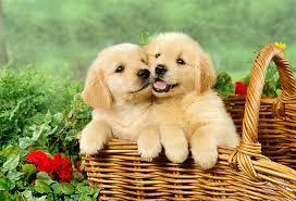 really cute golden retriever puppies sleeping. Fine Really Golden Retriever Puppies In Basket With Really Cute Retriever Sleeping T