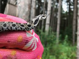 milk snake size minnesota seasons milk snake