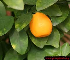 Kumquat Tree Fortunella Margarita Stock Photos U0026 Kumquat Tree Kumquat Tree Not Bearing Fruit