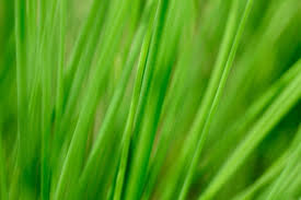 Wheatgrass Nutrition Chart Wheatgrass Nutritional Value