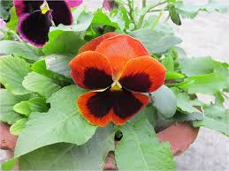 garden flowers. Pansy With Black Centre And Orange Petals Surrounded By Green Leaves Garden Flowers U