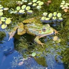 the best oxygenating pond plants top 8