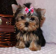 teacup yorkie puppies for adoption. Fine Teacup Gold And White Yorkies  Potty Trained Teacup Yorkie Puppies For Adoption