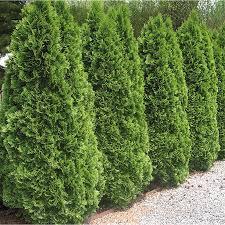 5-Gallon Emerald Green Arborvitae Screening Shrub (L5480)