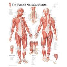 Muscular System Anatomical Chart Hd Google Search Human