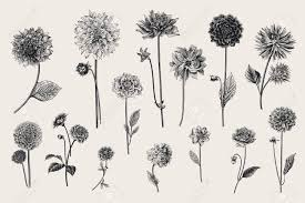 Dahlias Set Botanical Vector Vintage Illustration Design Elements