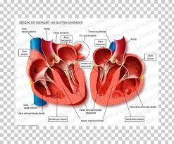 Cardiac Anatomy Chart Human Heart Anatomy Blood Vessel Pulmonary Vein Heart Png
