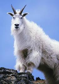 Transgenic Animals Fda Ready To Regulate Transgenic Animals Nature News