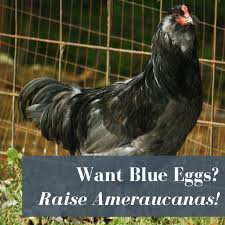 Ameraucana Chicken Color Chart Ameraucana Chickens Know Before You Buy Pampered Chicken