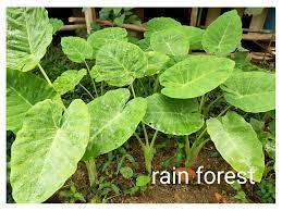 หน่อพันธุ์ออดิบ ต้นอ้อดิบ ต้นคูน โชน ของแท้ 100% หน่อใหญ่ ปลูกง่าย  ให้ผลผลิตไว จำนวน 4 ต้น ใช้ประกอบอาหารและมีสรรพคุณทางสมุนไพร