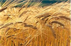 Resultado de imagen de imagenes gratis de campos de cebada