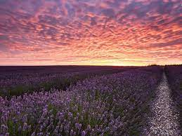 Lavender Field Pink Sky desktop PC ...