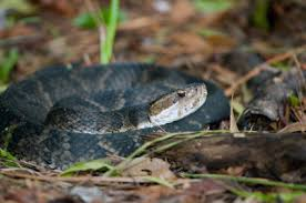Venomous Snakes Of North Carolina Facts Pictures And More