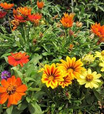 gazania comes in many colors