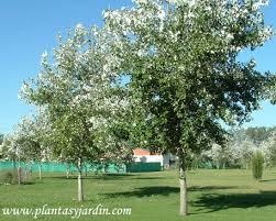 Populus alba Alamo plateado | Plantas y Jardín