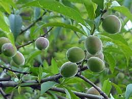 GardenorgSouthern California Fruit Trees
