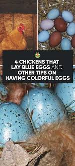 Chicken Breeds That Lay Blue Green Pink White And Other