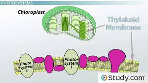 photolysis and the light reactions definitions steps reactants s lesson transcript study com