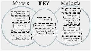 Comparing Mitosis And Meiosis Venn Diagram Mitosis And Meiosis Venn Diagram Worksheet Elegant Mitosis Meiosis