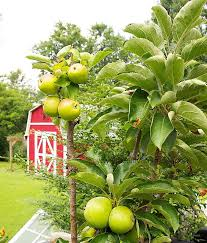 apple trees that grow in pots columnar apple trees are great for balconies patios