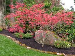 Small Picture Instant Serenity Japanese Maples