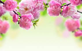 3456x2160 macro wallpaper pink spring flowers macro wallpaper hd free desktop 429003773
