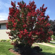 Black Diamond® Crape Myrtle Tree - Red Hot™ for Sale |  Fast-Growing-Trees.com– FastGrowingTrees.com