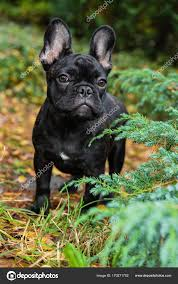 Black French bulldog puppy ⬇ Stock ...