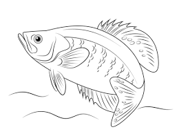 Small Picture White Crappie coloring page Free Printable Coloring Pages
