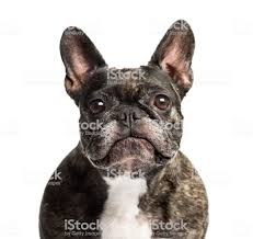 French Bulldog 6 Years Old Isolated ...