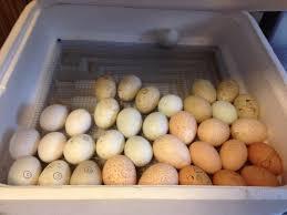 indian runner duck eggs inside incubator