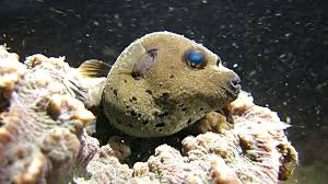 Porcupine Fish Videos and B Roll Footage Getty Images