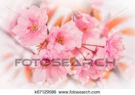 Beautiful Sakura Pink Flower Cherry Blossom Background