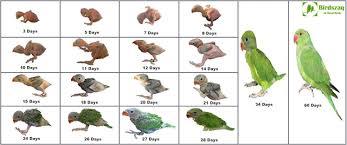 Lovebird Growth Chart Indian Ringneck Parrot Chick Growth Birdszaq