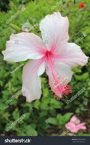 Light Pink Hibiscus Light Pink Hibiscus Flower Stock Photo Edit Now 739460053