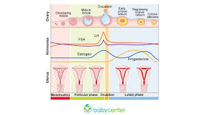Menstrual Cycle Phases Chart How Your Menstrual Cycle Works Babycenter