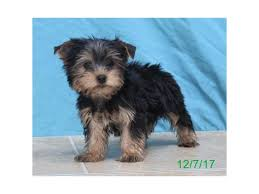 yorkshire terrier puppies who found loving homes