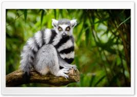 hd wallpaper widescreen animals. Beautiful Widescreen Ring Tailed Lemur HD Wide Wallpaper For 4K UHD Widescreen Desktop U0026  Smartphone On Hd Animals I