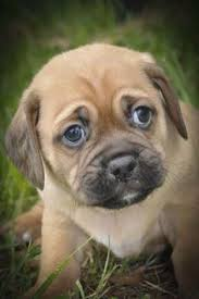 cute baby puggle. Delighful Baby Puggle Puppies Dogs And Puppy Love Cute Dogs Fur Babies Dog  Cat Animals Cutest Animals On Baby