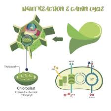 in this stage of photosynthesis energy containing sugar molecules are synthesized the atp and nadph produced are used to fuel the reactions in this stage